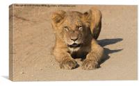 Kruger National Park - Lion Cub , Canvas Print