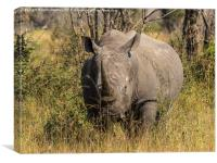 African White Rhinoceros, Canvas Print