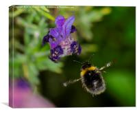 Bee homing in on dinner, Canvas Print