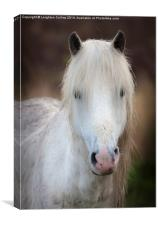 Wild Welsh mountain pony, Canvas Print