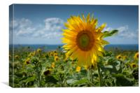 Sunflowers on the Gower peninsula, Canvas Print
