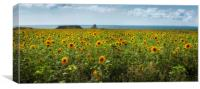 A panoramic field of Sunflowers, Canvas Print