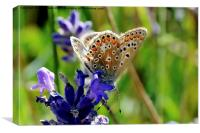 The Brown Argus butterfly, Canvas Print