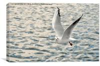 The Ring-billed Gull, Canvas Print