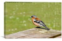 The Male Chaffinch, Canvas Print