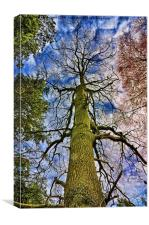 Looking up a Pine Tree to the stars., Canvas Print