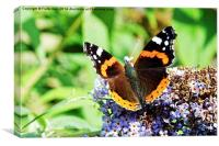 The beautiful Red Admiral Butterfly, Canvas Print