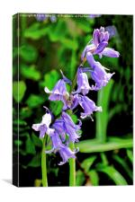 Bluebells in the wild, Canvas Print