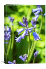Bluebells in the garden, Canvas Print