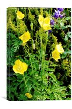Yellow poppy, a national flower of Wales, Canvas Print