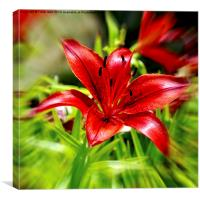 Beautiful Red Lilly, Canvas Print