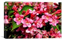 A mass of growth on a Weigela plant., Canvas Print