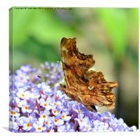 The Comma butterfly, Canvas Print