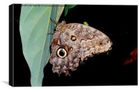 "The lovely ""Owl"" butterfly, Canvas Print"