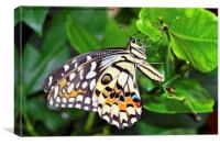 The Beautiful Lime Butterfly, Canvas Print
