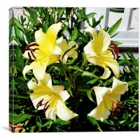 Beautiful Yellow Lilies in all their glory, Canvas Print