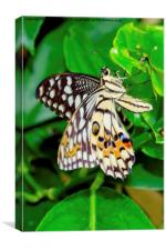 The Common Lime butterfly of Singapore, Canvas Print