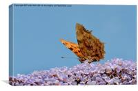 The Beautiful Comma butterfly, Canvas Print