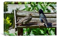 A young starling being fed by its mother, Canvas Print