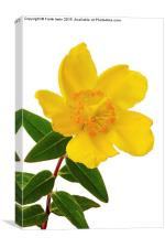 A single Hypericum bloom, Canvas Print
