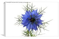 "'Miss Jekyll' aka ""Love in a mist""., Canvas Print"