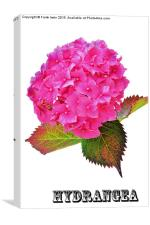 Beautiful Hydrangea in all its glory, Canvas Print