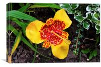 Beautiful Tigridia in all its glory, Canvas Print