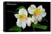 Alstromeria in all its glory, Canvas Print