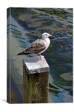 A seagull having a rest at the weir in Chester, Canvas Print