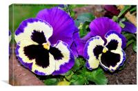 Colourful pansies in full bloom, Canvas Print