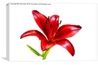 A beautiful Red Lily in all its glory, Canvas Print