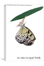 """The beautiful """"White Tree Nymph"""" butterfly, Canvas Print"""