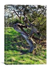 Old twisted tree, Canvas Print