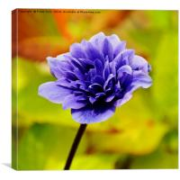 Anemone, growing in the wild, Canvas Print