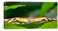 Malachite butterfly watching me intently, Canvas Print