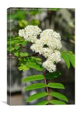 Mountain Ash or Rowan, flowers, Canvas Print