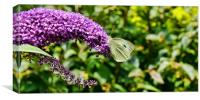 Buddleia & Green veined white, Canvas Print
