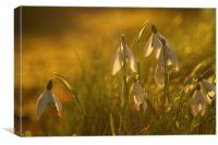 Sunset Snowdrops, Canvas Print