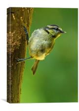 Juvenile Blue Tit on Tree Trunk, Canvas Print