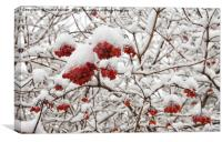 Red Berries in Snow, Canvas Print