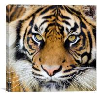Sumatran tiger, Canvas Print