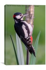 Great Spotted Woodpecker 1 , Canvas Print