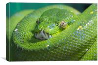 Green Tree Python, Canvas Print