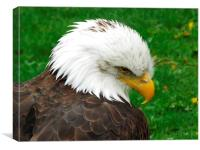 The American Bald Eagle, Canvas Print