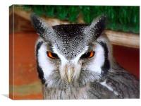 White faced scops owl, Canvas Print
