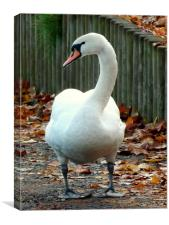 Dry footed swan, Canvas Print