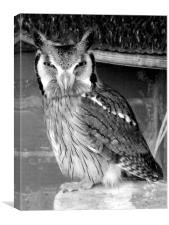 Scops Owl , Black and white, Canvas Print