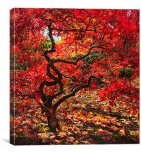 Blazing Japanese Maple, Canvas Print