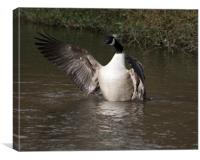 Canada Goose Flapping, Canvas Print