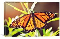 Beautiful Butterfly, Canvas Print